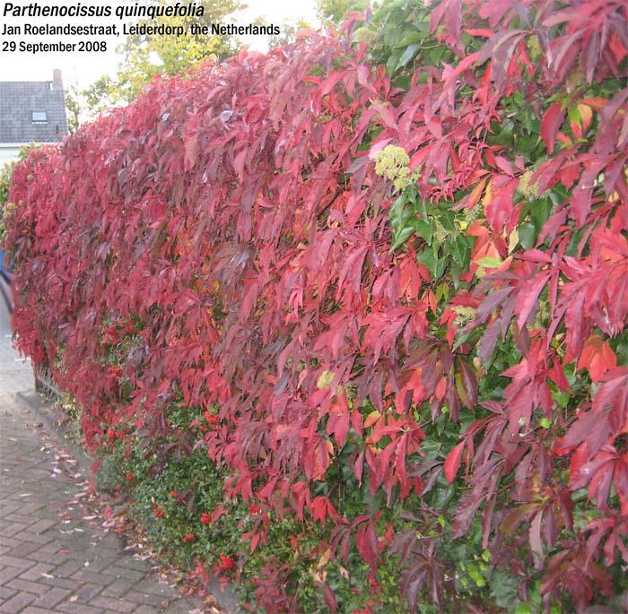 parthenocissus-quinquefolia-04.jpg