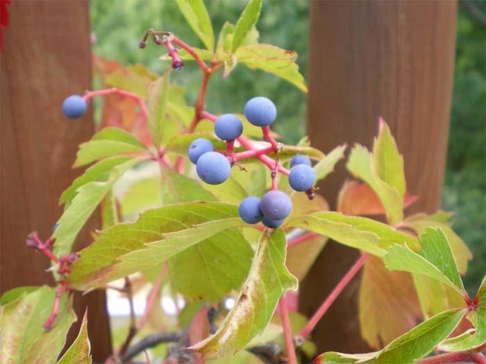 parthenocissus-quinquefolia-06.jpg