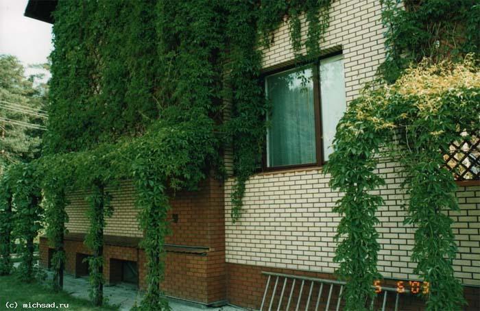 parthenocissus-quinquefolia-11.jpg