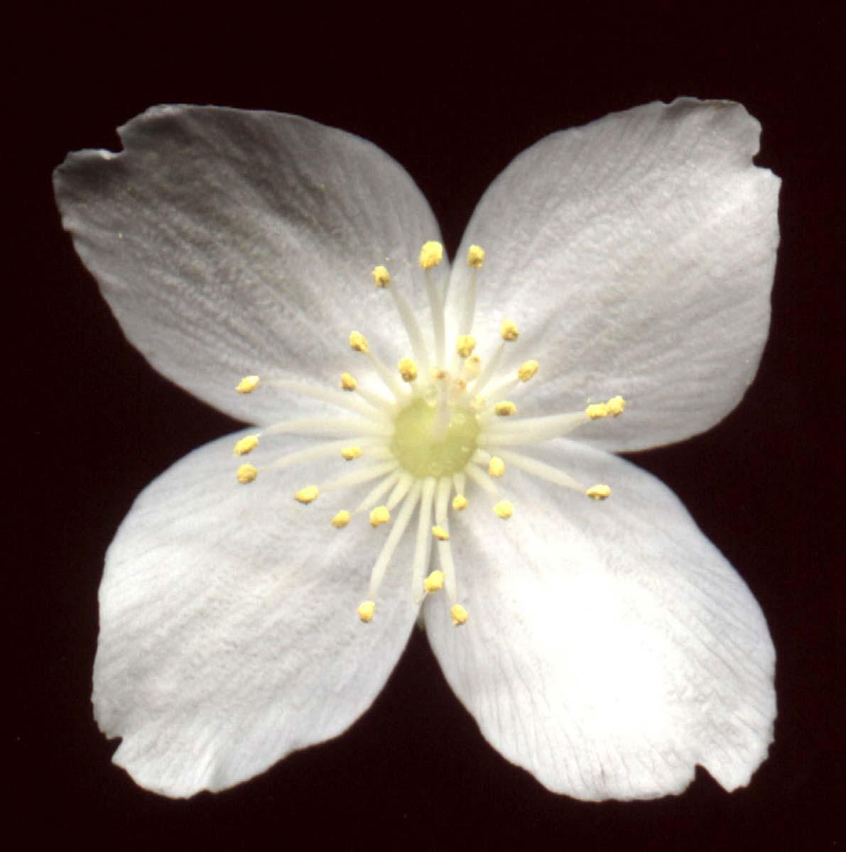 philadelphus-coronarius-04.jpg