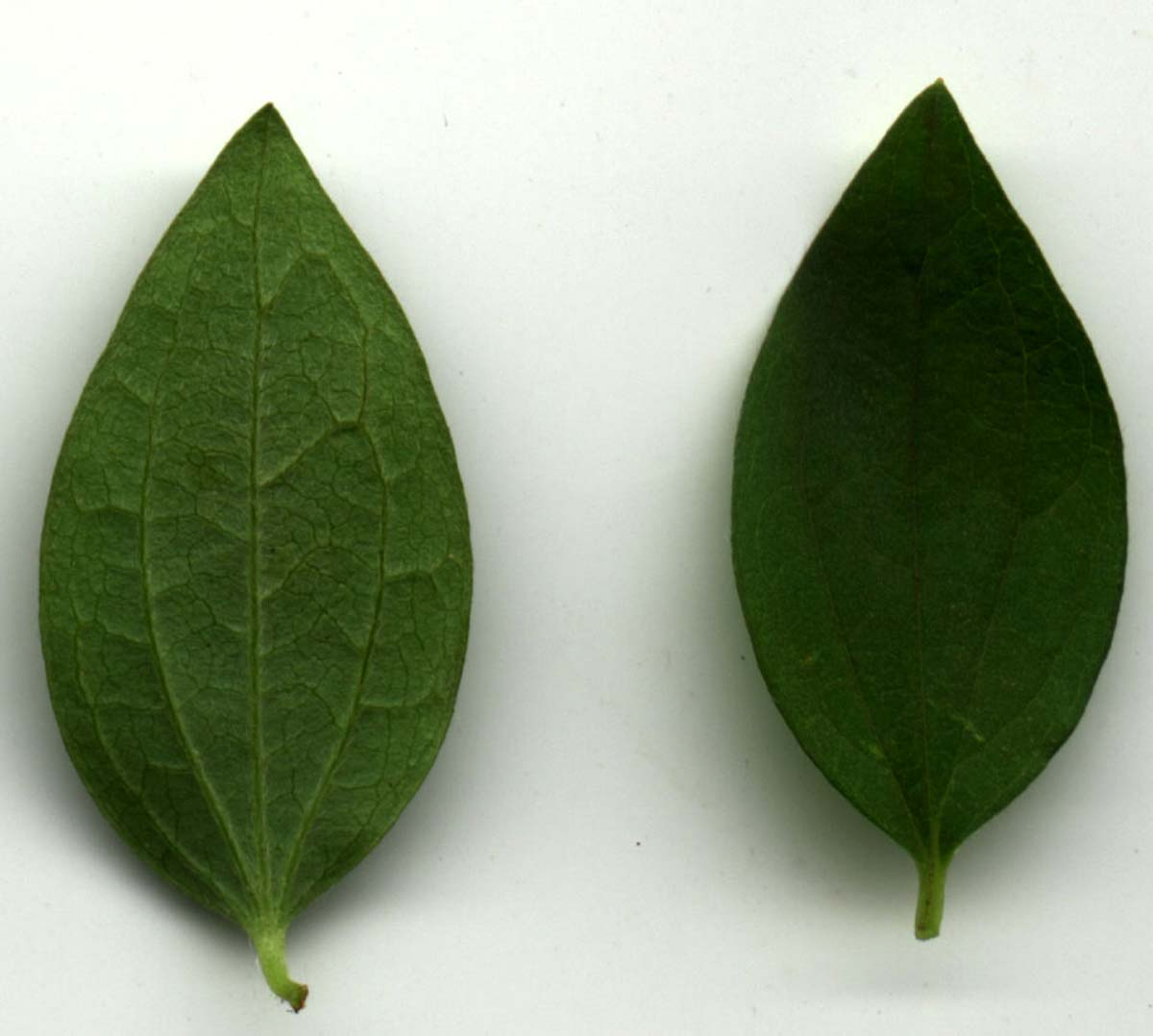 philadelphus-microphyllus-03.jpg