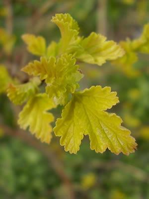 physocarpus-opulifolius-aureus-02.jpg