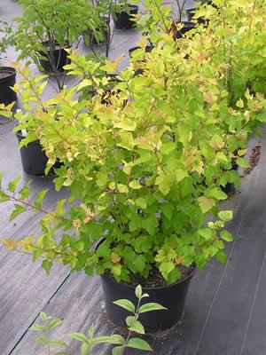 physocarpus-opulifolius-aureus-04.jpg