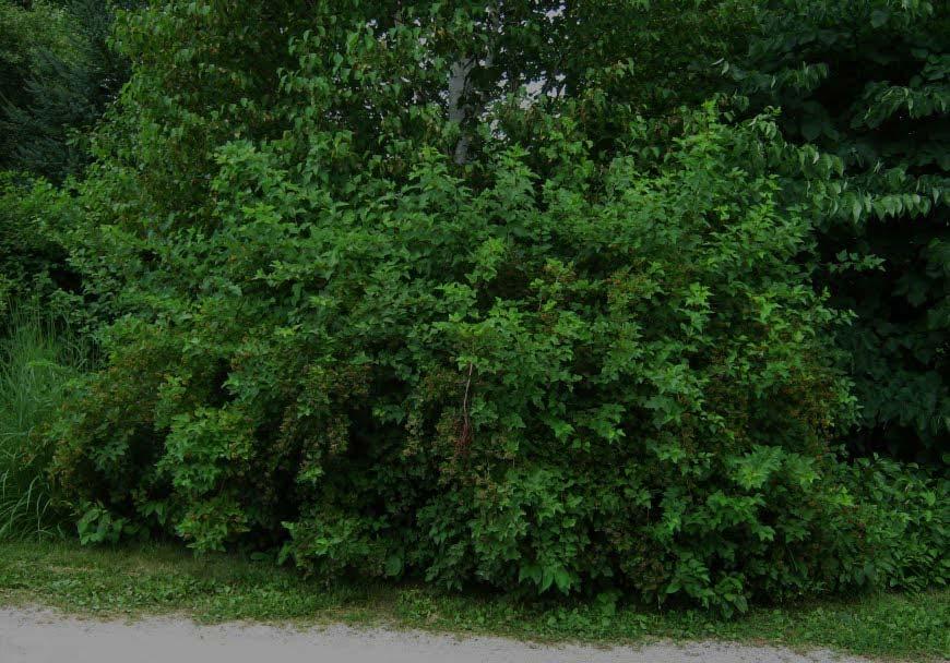 physocarpus-opulifolius-01.jpg
