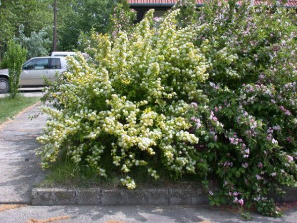 physocarpus-opulifolius-04.jpg