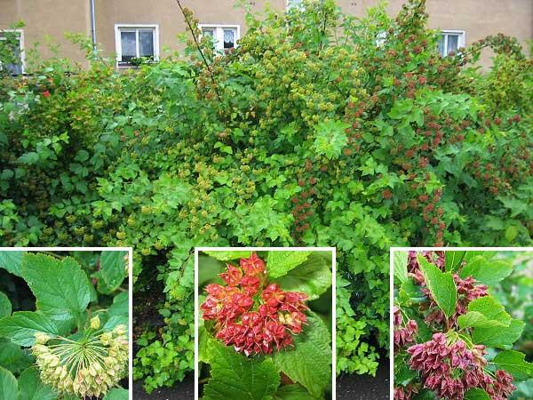 physocarpus-opulifolius-05.jpg