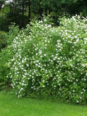 physocarpus-opulifolius-06.jpg