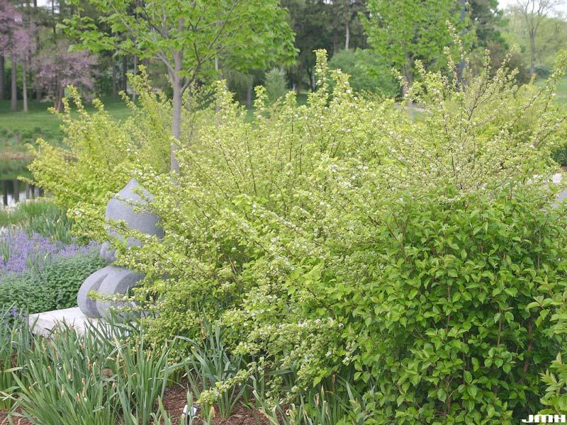 physocarpus-opulifolius-07.jpg