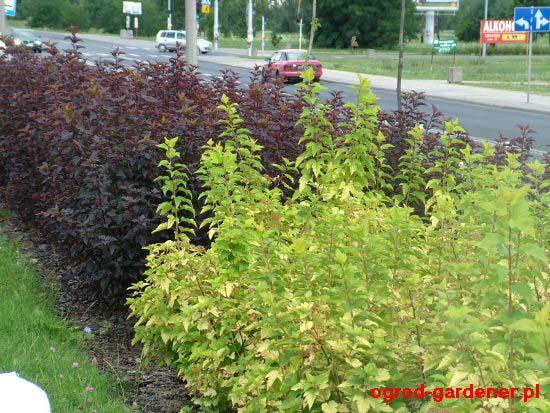 physocarpus-opulifolius-11.jpg