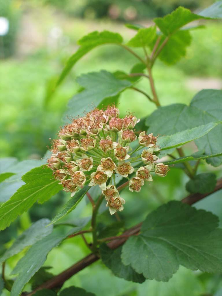 physocarpus-opulifolius-13.jpg