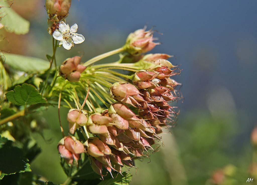 physocarpus-opulifolius-14.jpg