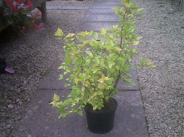 physocarpus-opulifolius-16.jpg