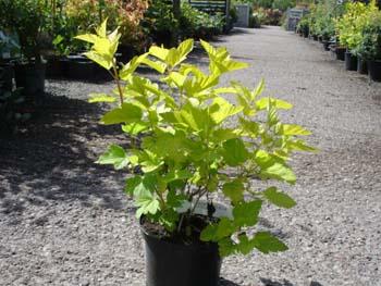 physocarpus-opulifolius-17.jpg