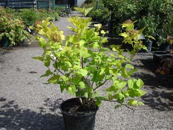 physocarpus-opulifolius-18.jpg