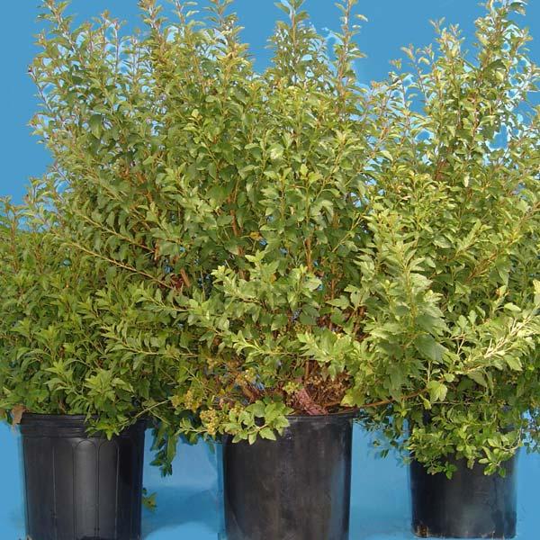 physocarpus-opulifolius-19.jpg