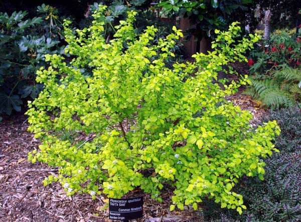 physocarpus-opulifolius-20.jpg