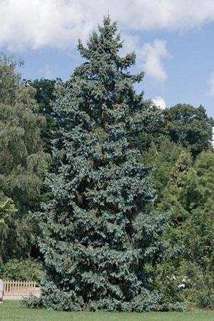 picea-pungens-koster-02.jpg