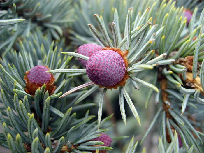 picea-pungens-koster-03.jpg