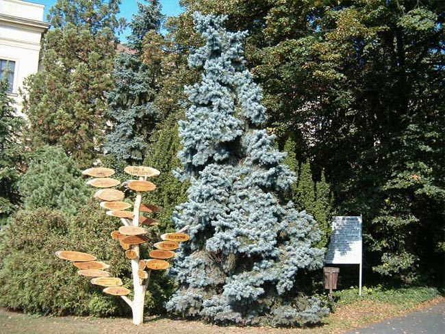 picea-pungens-koster-04.jpg
