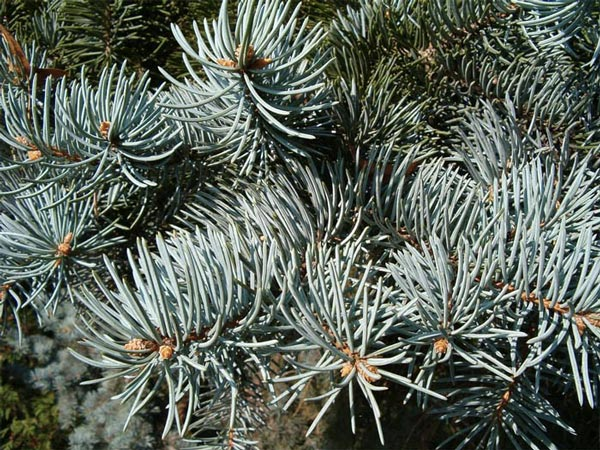 picea-pungens-koster-05.jpg