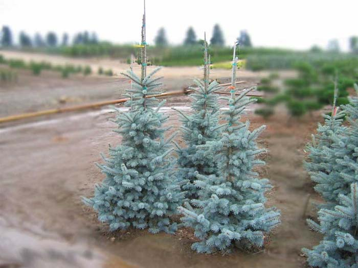 picea-pungens-koster-06.jpg