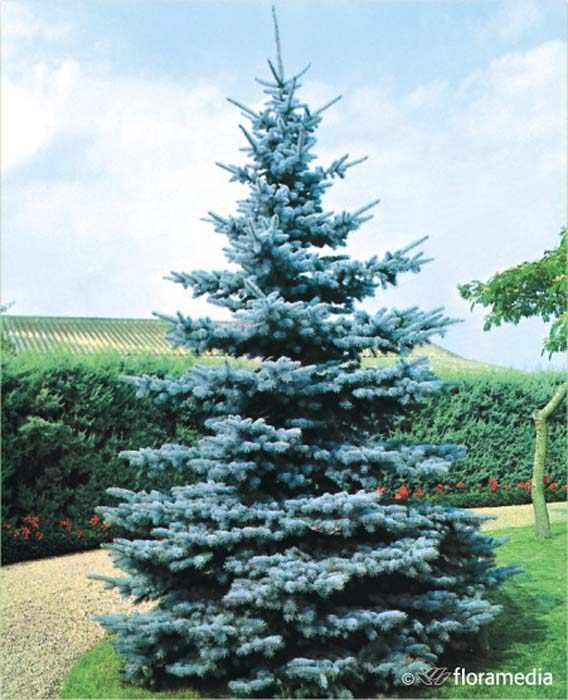 picea-pungens-koster-09.jpg