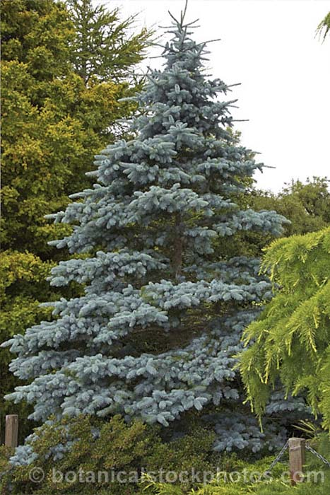 picea-pungens-koster-10.jpg