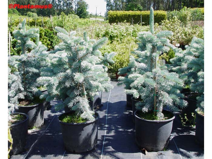 picea-pungens-koster-11.jpg
