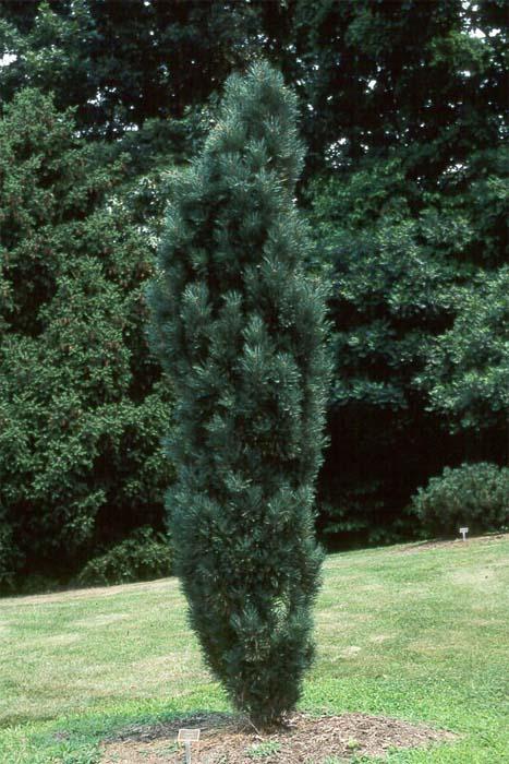 pinus-sylvestris-fastigiata-08.jpg