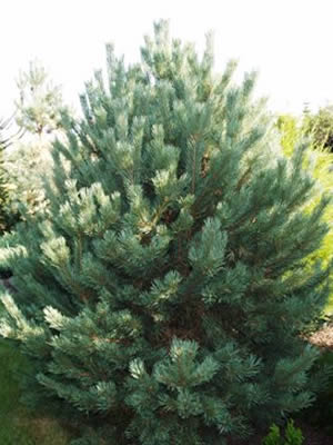 pinus-sylvestris-globosa-viridis-01.jpg