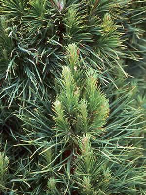 pinus-sylvestris-globosa-viridis-02.jpg