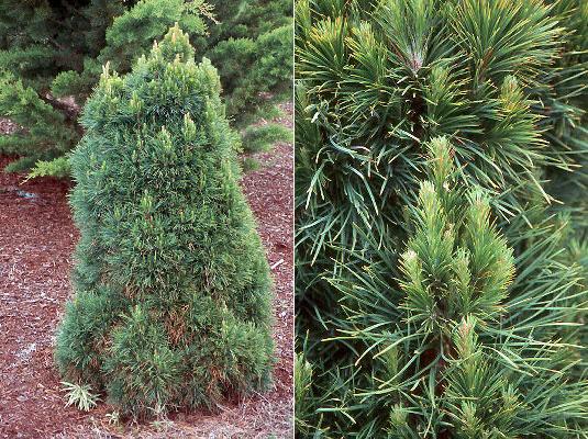 pinus-sylvestris-globosa-viridis-04.jpg