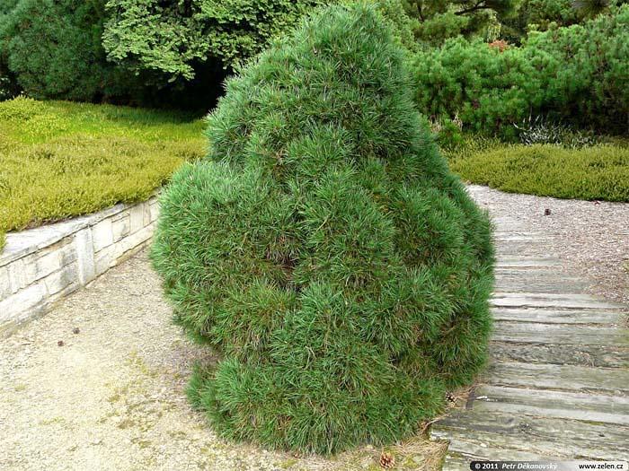 pinus-sylvestris-globosa-viridis-05.jpg