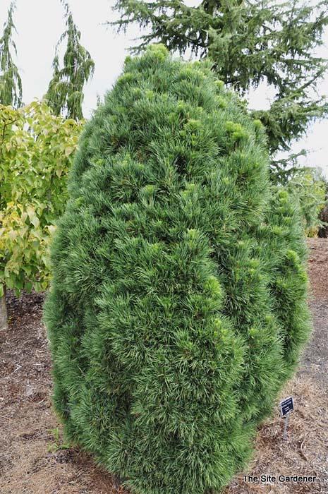 pinus-sylvestris-globosa-viridis-07.jpg