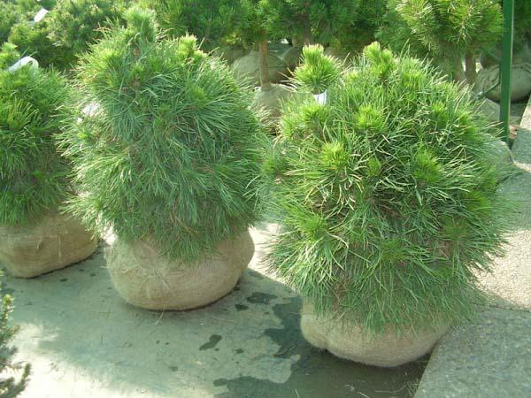 pinus-sylvestris-globosa-viridis-08.jpg