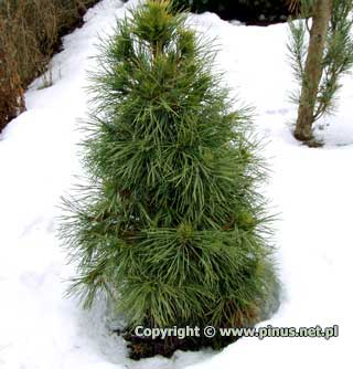 pinus-sylvestris-globosa-viridis-09.jpg