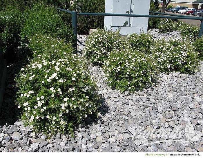 potentilla-fruticosa-abbotswood-02.jpg