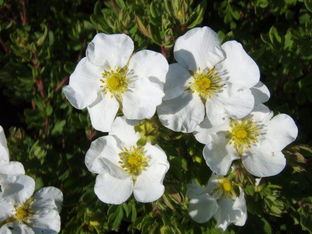 potentilla-fruticosa-abbotswood-03.jpg