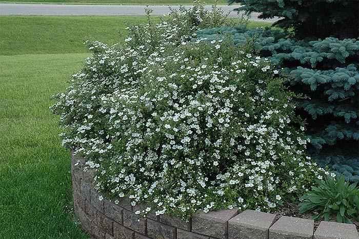 potentilla-fruticosa-abbotswood-04.jpg