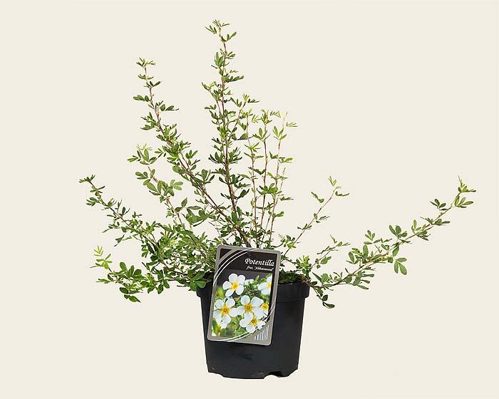 potentilla-fruticosa-abbotswood-05.jpg