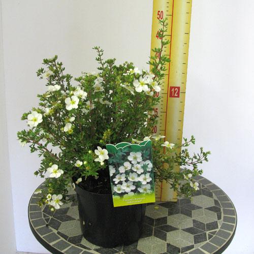 potentilla-fruticosa-abbotswood-06.jpg