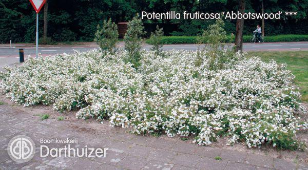 potentilla-fruticosa-abbotswood-08.jpg