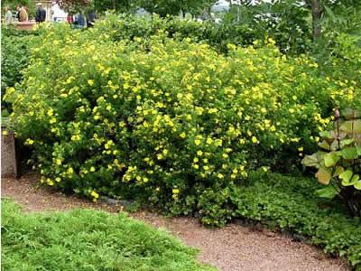 potentilla-fruticosa-goldfinger-02.jpg
