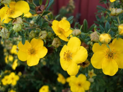 potentilla-fruticosa-goldfinger-03.jpg