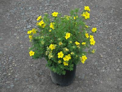 potentilla-fruticosa-goldfinger-04.jpg