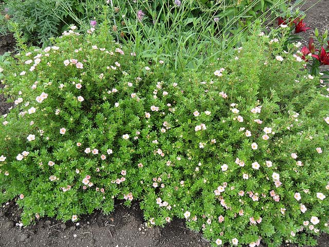 potentilla-fruticosa-princess-01.jpg