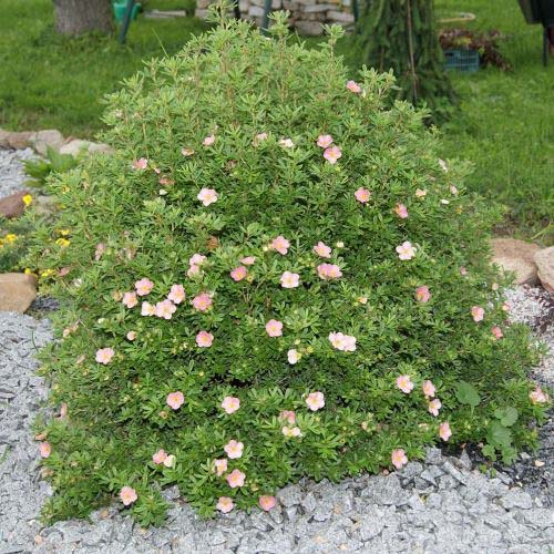 potentilla-fruticosa-princess-03.jpg
