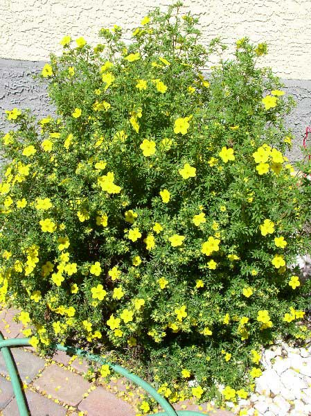 potentilla-fruticosa-02.jpg
