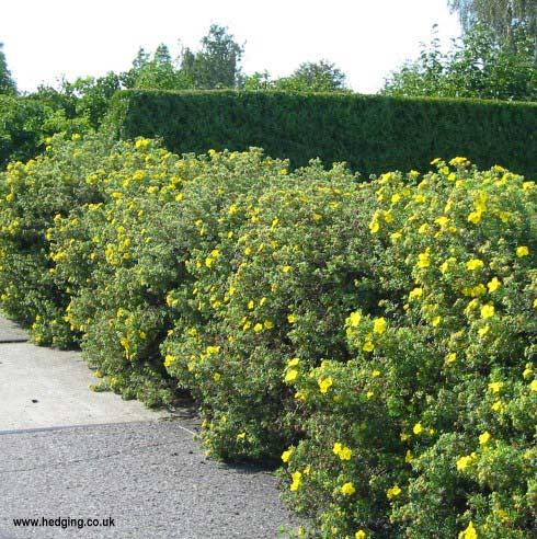 potentilla-fruticosa-03.jpg