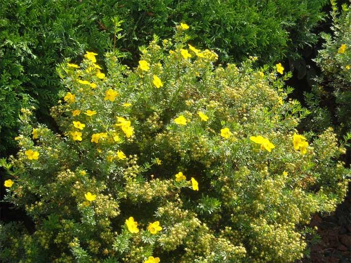 potentilla-fruticosa-04.jpg